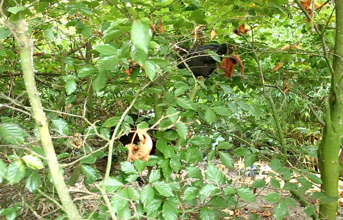 Hens eating beech leaves