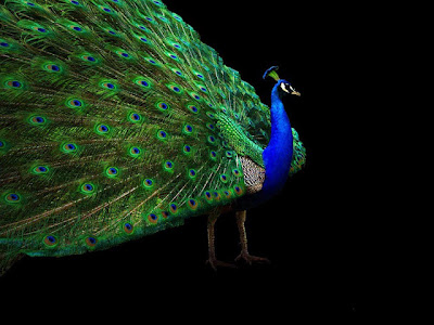 dancing peacock allfreshwallpaper