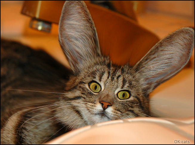 """Photoshopped Cat picture • Funny """"Cabbit"""" can't hear you, speak louder please (he's deaf)"""