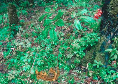 Cây sâm ngọc linh trong rừng