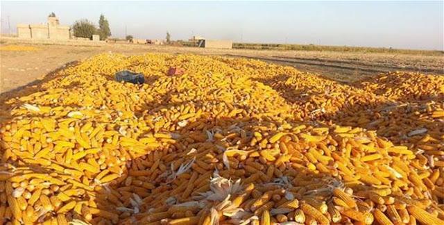 وزارة الزراعة تجتمع مع منتجي الدواجن لاستلام محصول الذرة الصفراء في ظل المساعي للحد من استيراد المحاصيل من الخارج
