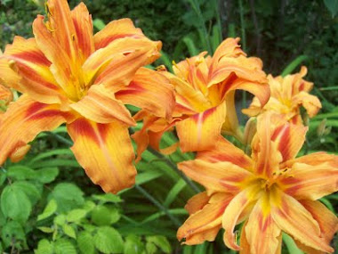 MY DOUBLE DAYLILIES