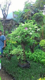 gambar tanaman bunga kertas harga paling murah