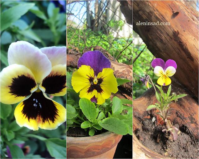 виола, виды, сорта, аленин сад, фиалка трехцветная, виола рогатая, виола виттрока, рассада, выращивание, посев