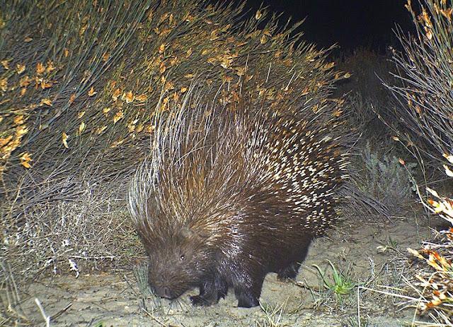 Cape Porcupine, Ystervark, Hystrix africaeaustralis
