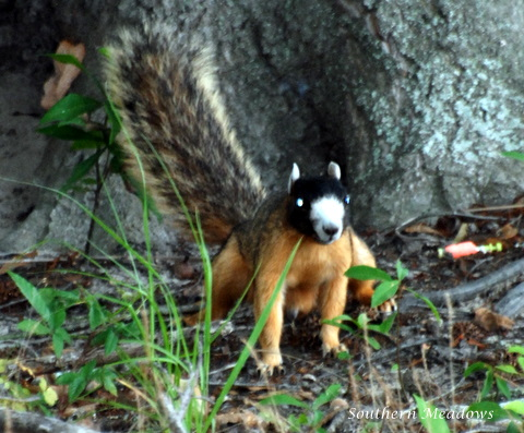 Southern Meadows: A Masked Face Fox Squirrel