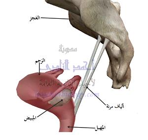 مكان الجهاز التناسلى الأنثوى بين عظام الحوض