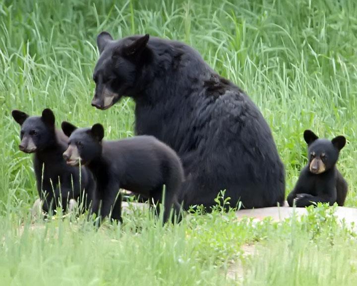 Black Bear Family Photograph by Max Waugh |Funny Black Bear Family
