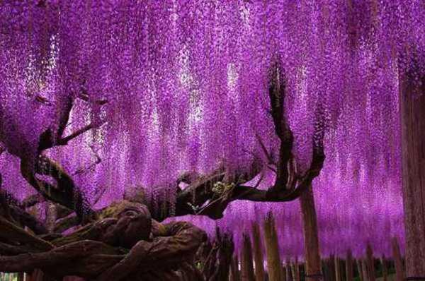 أشجار الوستارية في اليابان