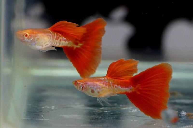 Gambar Ikan Hias Aquarium Tanpa Oksigen - Ikan Guppy