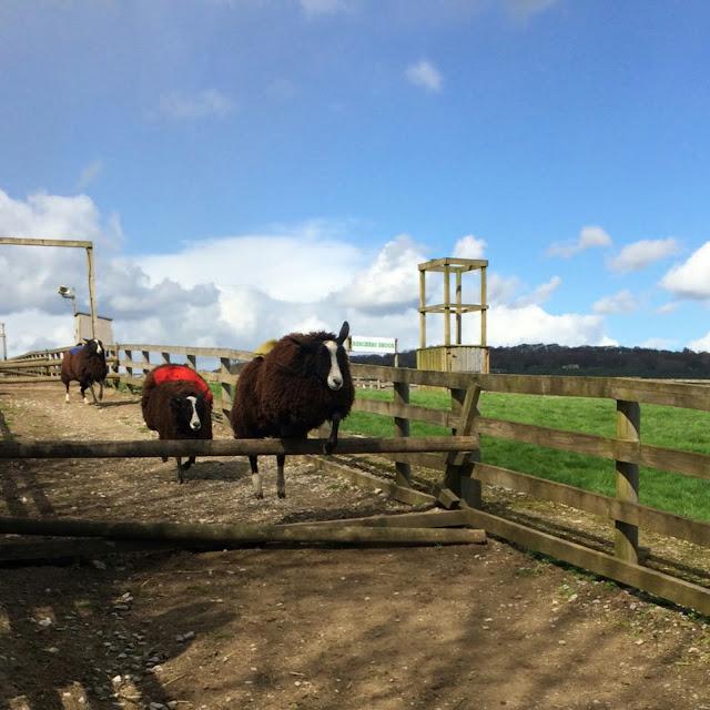 Sheep race at Cannon hall farm