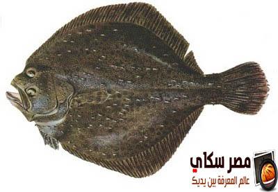 ماذا تعرف عن سمك موسى ؟