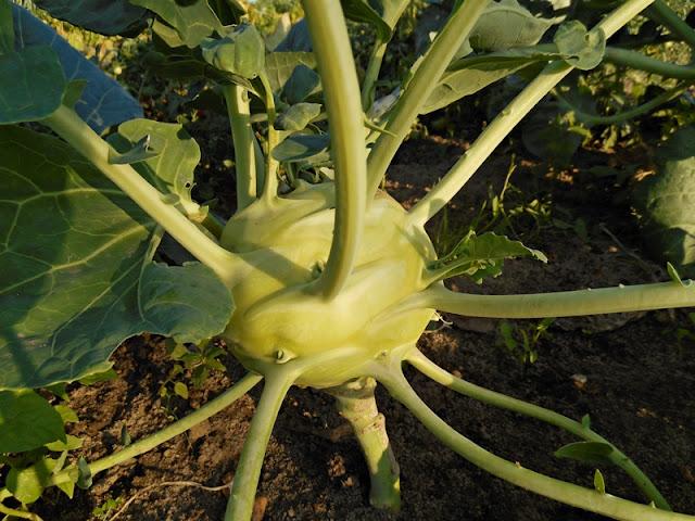 łodyga, warzywa, ogród, przysmaki