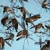 Nyamuk Dijangkiti 'Bakteria Wolbachia' Akan Dilepaskan Untuk Perangi Virus Zika