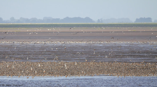Another great wader day in Norfolk.