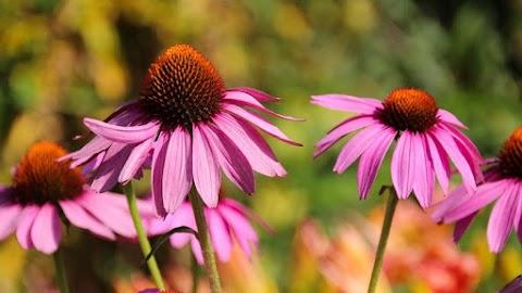 Echinacea: miért ajánlják vírus idején az orvosok a bíbor kasvirágot?
