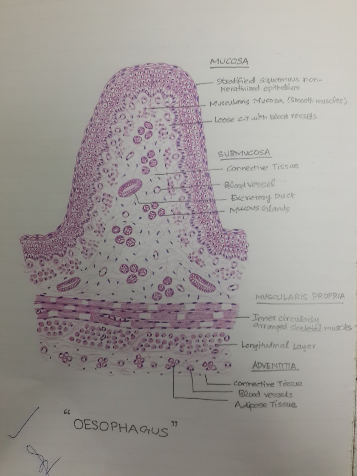 Histology Diagrams For 2nd Year Mbbs
