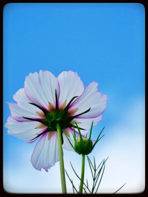 marguerite verte blog cosmos fleurs fleur droits réservés