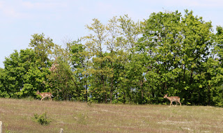 Two deer on the edge of the woods