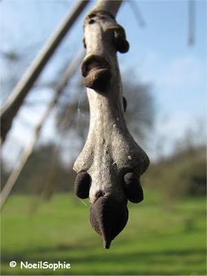 Bourgeon de frêne commun