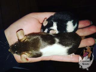 mysz laboratoryjna mysz rasowa