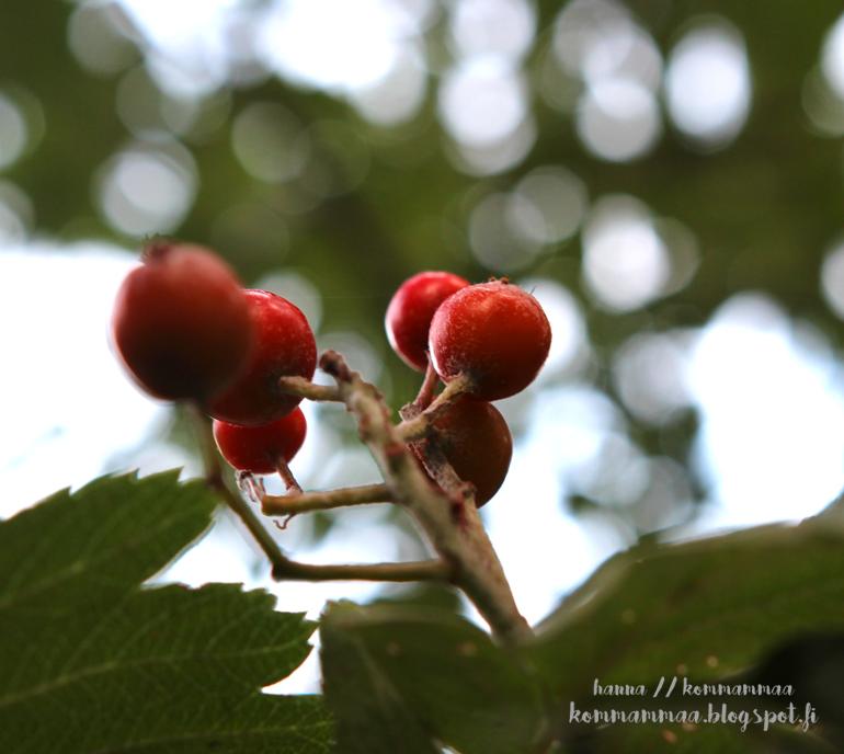 punaiset marjat bokeh syksy