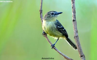 Aves, aves do Brasil, Aves do Tocantins, Palmas, Tocantins, Birds, Birds of Brazil, Pássaros, passaros, passarinhos, fotos de aves, fotografia de aves, fotos, natureza
