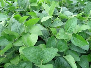 kedelai legume cover crop