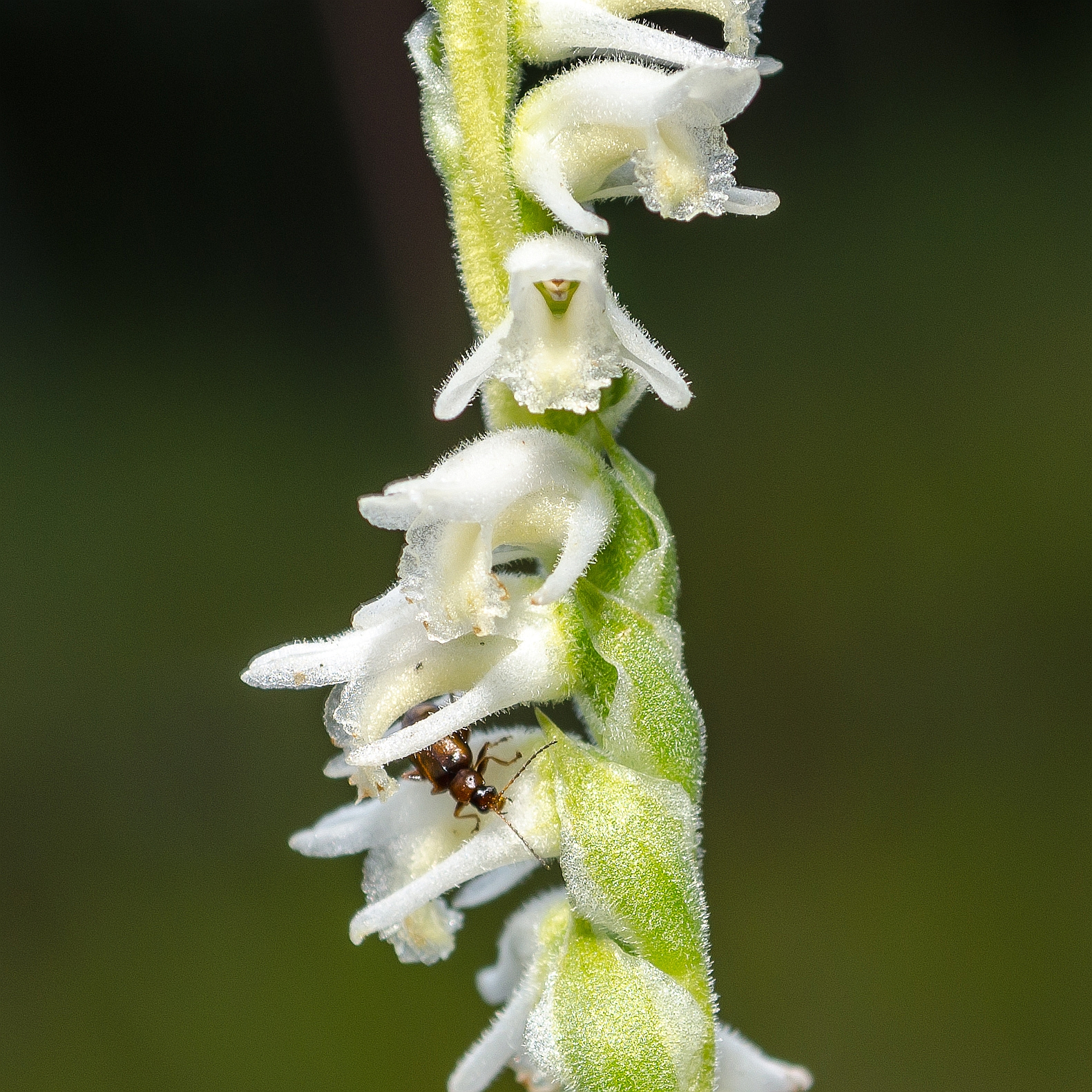 Spiranthes vernalis