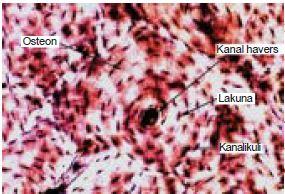 Struktur, Fungsi dan Macam-Macam Jaringan Ikat Longgar, Padat, dan Tulang serta Jaringan Darah Pada Hewan