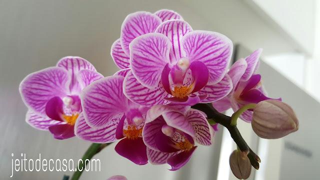 mini-phalaenopsis-geladeira