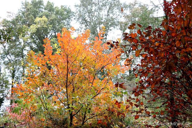 cotinus coggygria physocarpus diabolo automne 2016
