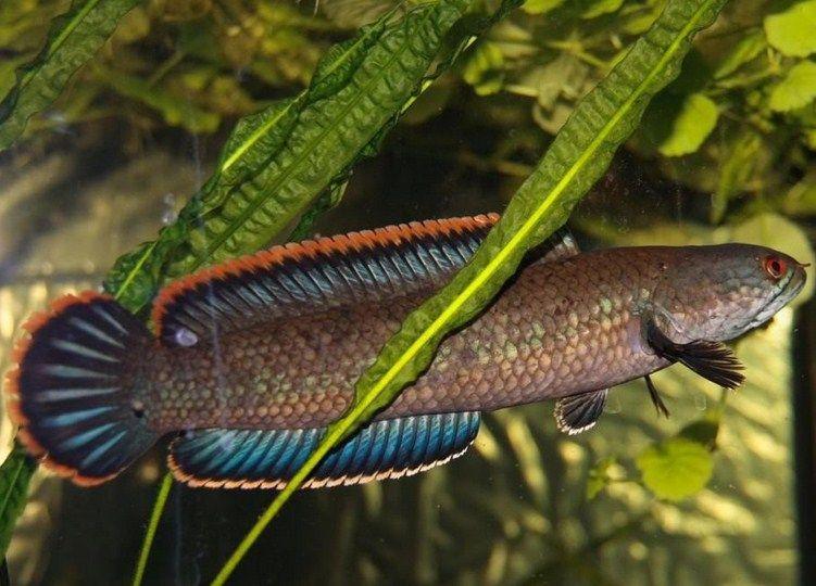 Ikan Tawar Untuk Obat Kanker