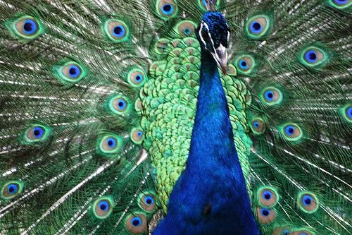 Burung Merak India
