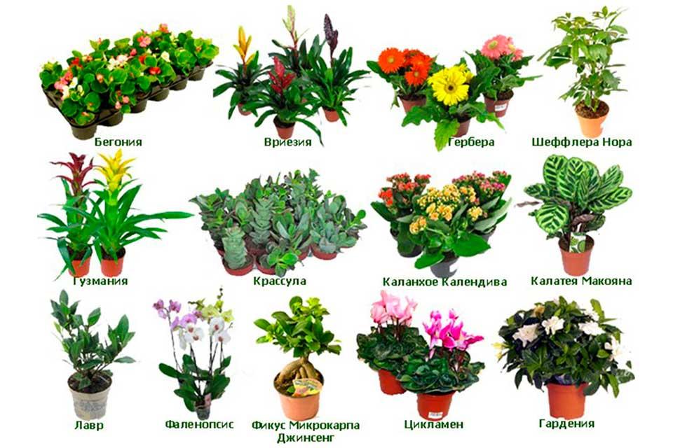 комнатные цветы фото и название по алфавиту методом