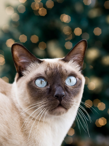 Tonkinese cat byChristmas tree