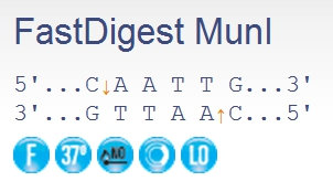 MunI restriction enzyme site, Dayana Knits blog