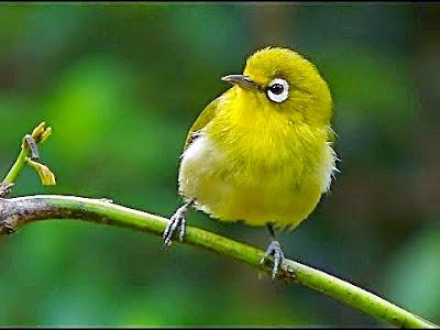 Foto Burung Pleci Jantan