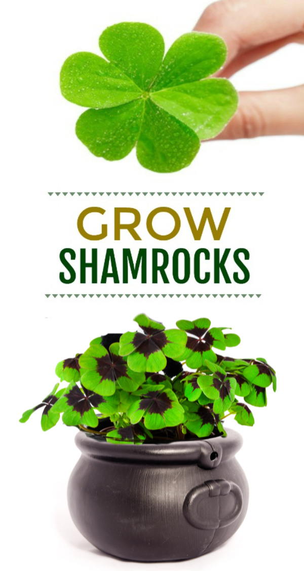 Grow lucky shamrocks for St. Patrick's Day!  My girls loved this activity and leaned a lot about shamrocks and how they grow.  #howtogrowshamrocks #growshamrocksforkids #growshamrocks #shamrockcraft #shamrock #stpatricksdaycraftsforkids #stpatricksday #kidsshamrockcrafts #kidsstpatricksdaycrafts