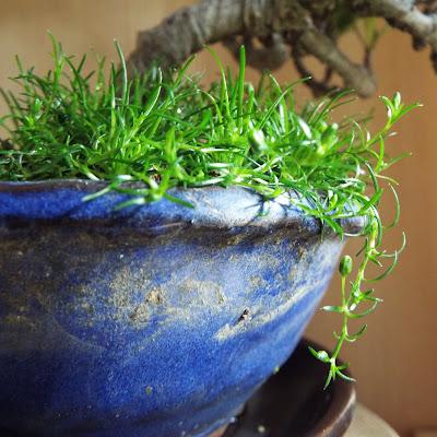 クチナシの鉢に生えた草
