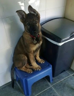 German shepherd puppy sat on plastic blue stool with ears up looking