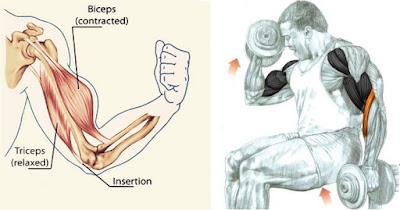 Training Guide For Maximum Biceps Development