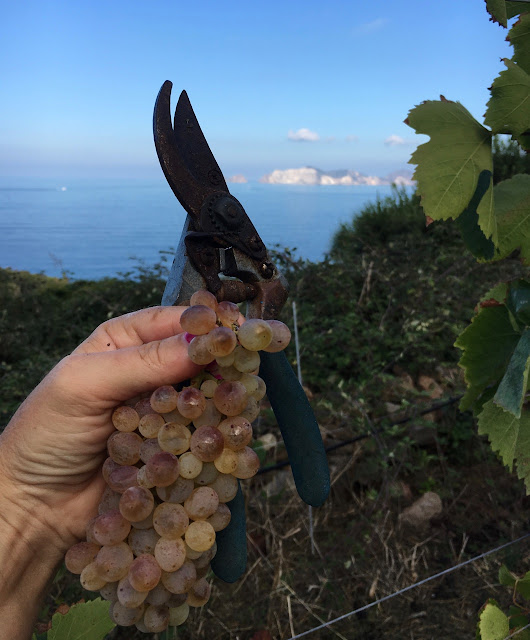 La Vendemmia {The Wine Harvest on the Island of Ponza}