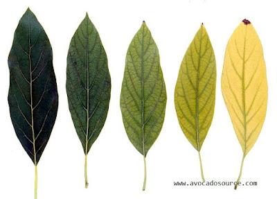 dampak kekurangan kelebihan unsur besi (Fe) pada tanaman hidroponik