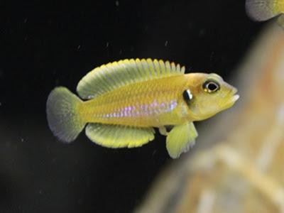 Ciclido Lamprologus Ocellatus