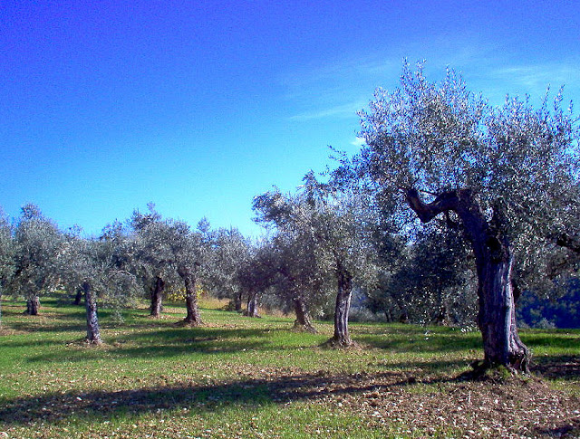 Olive grove in Tuscany. Photo: Alessandro Antonelli.