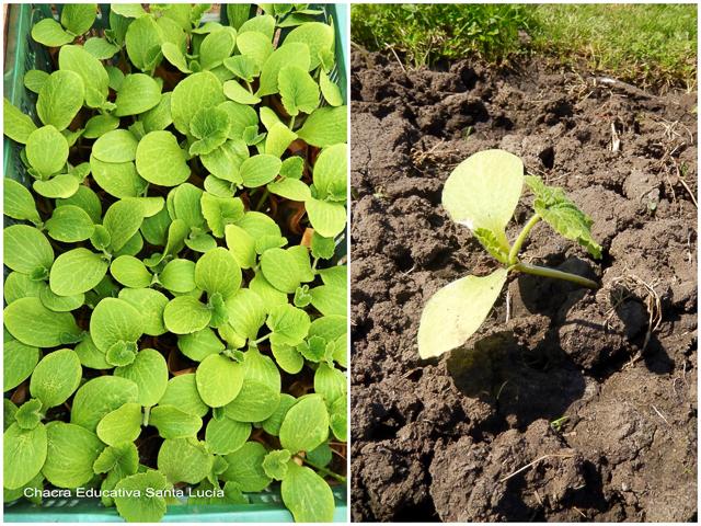 Plantines de zapallito antes y después de ser trasplantados al cantero - Chacra Educativa Santa Lucía