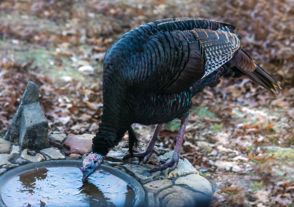 eastern wild turkey gobbler in birdbath