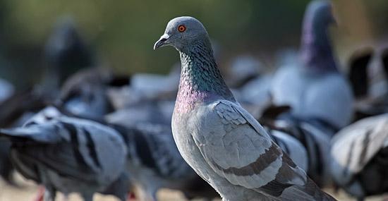 Por que nunca vemos os filhotes de pombos?