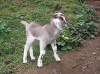 बकरी का बच्चा